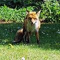 City of London Cemetery, Newham, London England - fox 10.jpg