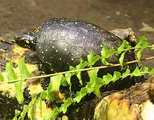 A spotted turtle standing on covered in aquatic vegetation. The turtle is viewed from the top left and is facing left.