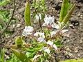 Cleome hassleriana (Capparidaceae) flower.JPG