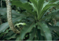 Clermontia pyrularia.png