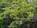 Climbing Raisin (Grewia caffra) (11478060004).jpg