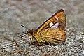 Close wing basking of Pedesta masuriensis Moore, 1878 – Mussoorie Bush Bob WLB DSC 0765.jpg