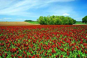 Champ couvert de petites fleurs rouges