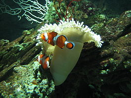 Clown fishes.jpg