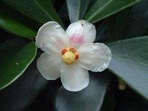 Blüte von Clusia fluminensis.