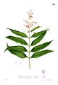 Clusiaceae sp Blanco2.308.png