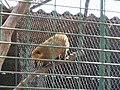Coati in Odessa zoo.jpg