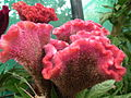 Cockscomb or Celosia argentea from Lalbagh Flower Show August 2012 4553.JPG