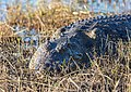 Cocodrilo del Nilo (Crocodylus niloticus), parque nacional de Chobe, Botsuana, 2018-07-28, DD 71.jpg