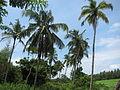 Coconut Tree - തെങ്ങ് 01.JPG