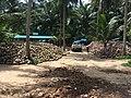 Coconuts in Ko Pha Ngan.jpg
