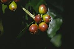 Coffee Wikipedia