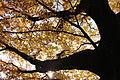 Coloured leaves of a huge tree (8228659822).jpg
