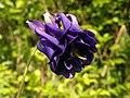 Columbine (Aquilegia vulgaris) (8971022950).jpg