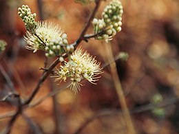 Combretum mossambicense (flowers).jpg