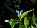 Commelina communis 2010-08-01 025 01.jpg