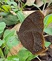 Common Evening Brown -Melanitis phedima 04.JPG