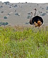 Common Ostriches (Struthio camelus) couple (32331339932).jpg