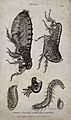 Common flea (Pulex species); adult, pupa, larva and egg. Eng Wellcome V0022512.jpg