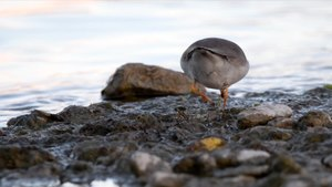 Fitxer:Common ringed plover.webm