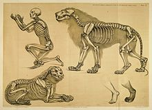 Comparative view of the human and lion frame, Benjamin Waterhouse Hawkins, 1860.jpg