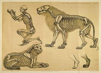 Vista comparativa entre um ser humano e um leão, 1860