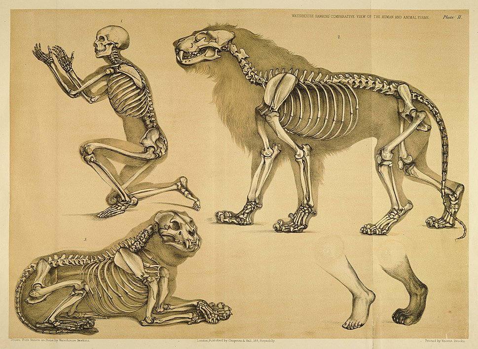 Comparative view of the human and lion frame, Benjamin Waterhouse Hawkins, 1860
