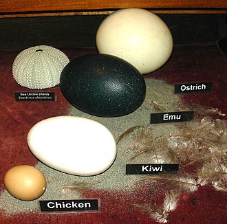 Glossary of bird terms - Eggs of: ostrich, emu, kiwi and chicken