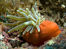 An anemone is shown with an almost shoe-shaped terracotta coloured base. Some thirty light green tentacles reach out from an opening at the top of this base. The tentacles have thin zebra-like darker and lighter stripes across, and the tentacles taper slightly towards the tip and terminate in a round end where they reach a third or half of the diameter at the base.