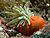 Condylactis gigantea (Giant Anemone) red base.jpg