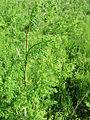 Conium maculatum Hauxley 4.jpg