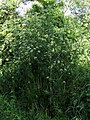 Conium maculatum Kiev4.JPG