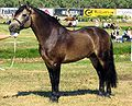 Connemara stallion.jpg