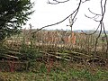 Coppiced hedge at Taynton - geograph.org.uk - 675166.jpg