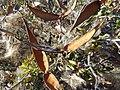Cornicabra fruto-2.jpg