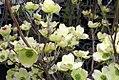 Cornus florida Cherokee Princess 5zz.jpg