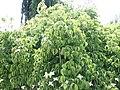 Cornus kousa Lustgarten Weeping 3zzc.jpg