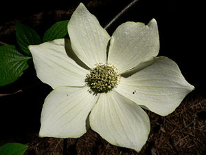 Cornus nuttallii - The small flowers are in a dense cluster surrounded by large white bracts.
