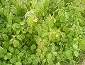 Cornus sanguinea 20070810c.jpg