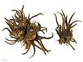 Corylus colurna MHNT.BOT.2007.43.55.jpg