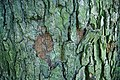 Corylus colurna Park am Weißen See 2014 019.jpg