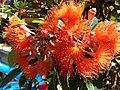 Corymbia ficifolia (6489625819).jpg