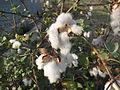 Cotton - പരുത്തി 06.JPG