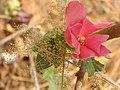 Cotton Flower.jpg