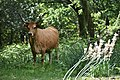 Cow PT.jpg