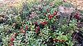 Cowberries, Järvenpää, Finland - panoramio.jpg