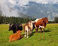 Cows on Ehrwalder Alm 2.jpg