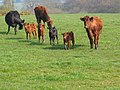 Cows with calves in the Weaver Valley - geograph.org.uk - 62569.jpg