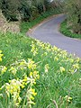 Cowslips in the verge - geograph.org.uk - 396117.jpg