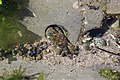 Crab (41917195834).jpg